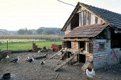 foto of hen house  - A group of hens roosters and ducks walking in the yard in front of a hen house - JPG