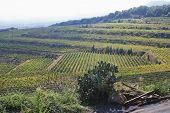 foto of messina  - Crop in a vineyard - JPG