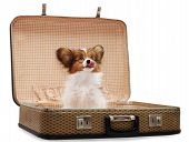 foto of fluffy puppy  - Papillon puppy in the suitcase isolated on white background - JPG
