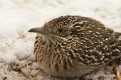 image of greater  - Closeup of a Greater Roadrunner squatting down in snow - JPG