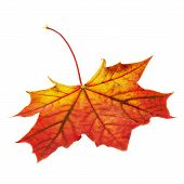 stock photo of canada maple leaf  - Autumn red maple - JPG