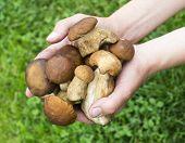picture of boletus edulis  - Handful of porcini mushrooms  - JPG