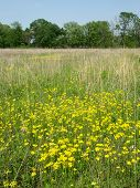 stock photo of winnebago  - Beautiful yellow flowers bloom in a prairie at Deer Run Forest Preserve - northern Illinois.