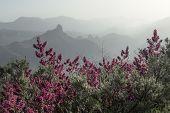 foto of salvia  - Gran Canaria Caldera de Tejeda late afternoon light Canarian Sage Salvia canariensis in flower - JPG