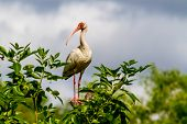 picture of long-legged-birds  - A Long Legged Young American White Ibis  - JPG