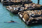 picture of sea lion  - Sea lion at Pier 39 San Francisco - JPG