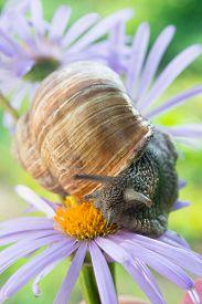 picture of garden snail  - Garden snail sits on a violet daisy - JPG