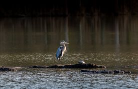 stock photo of maryland  - Great Blue Heron and a Turtle bask in the sun on the Chesapeake Bay in Maryland - JPG