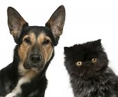 Persian kitten and a Mixed-breed dog in front of white background