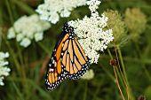 Monarch Adult