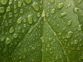 Folha depois da chuva