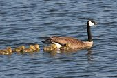 Goose With Goslings