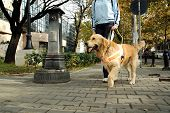 stock photo of seeing eye dog  - Seeing eye dog helping blind person to walk - JPG