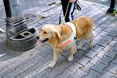 stock photo of seeing eye dog  - Dog helper helping blind person to walk - JPG