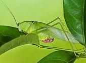 big green katydid in the urban parks