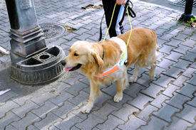 picture of seeing eye dog  - Dog helper helping blind person to walk - JPG