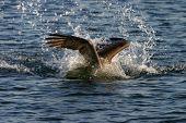 Pelícano marrón de California se zambulle en el agua pescando