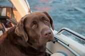 Boating. Brown Labrador Looking At The Scenic Autumn Beauty From White Boat poster