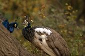 picture of peahen  - a female peacock aka a Peahen sits on a tree branch with a male peacock - JPG