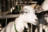 picture of pygmy goat  - a pygmy goat at a petting zoo - JPG