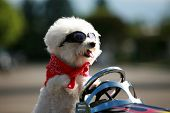 a bichon frise dog wears her red bandana and goggles as she drives her hot rod pedal car around town