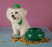 A pure breed Bichon Frise wears her Saint Patricks Day Leprechaun hat and sits by her pot of gold co