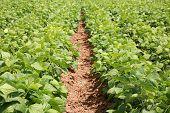 foto of sweetpea  - string bean fields - JPG