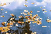 Fallen Orange Colorful Leafs, Bright Autumn Colors, Floating On Blue Water Surface. Romantic Mood, C poster