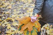A Bouquet Of Maple Leaves In A Childs Hand. Autumn Leaves. Autumn Bouquet. Autumn Park. Autumn Mood poster