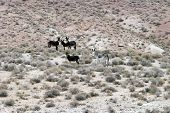 wild donkeys aka burrows or ass live all around in the nevada desert free range