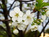 The Blossoming Cherry - White Petals. Cherry Tree In The Spring - Beautiful Flowers. The Blossoming  poster