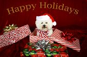 Jolie a pure breed Bichon Frise wears Christmas Bow and sits beside a christmas present box wishing