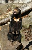 Sun bear also known as a Malaysian bear (Helarctos malayanus).