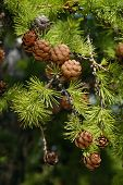 Larch with cones in Siberia, Russia
