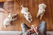 Dogs Begging For Food: Pack Of Three Hungry West Highland White Westie Terriers Watching Man Eat Pan poster