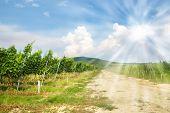 Vineyard in Eastern Slovakia, the Tokai territory with shining sun
