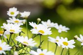 foto of daisy flower  - Early summer Flowers - JPG