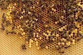 Background Hexagon Texture, Wax Honeycomb From A Bee Hive Filled With Golden Honey. Honeycomb Macro  poster
