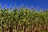 Field of ripening Corn