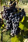 Wine Grapes Growing On A Vine In Tuscany, Italy