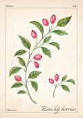 Rose Hips Isolated Watercolor Illustration. Rose Hip Isolated Watercolor Illustration For Advertise, poster