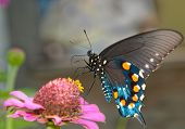 Green Swallowtail Butterfly on pink Zinnia