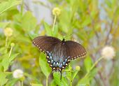 Black morph of an Eastern Tiger Swallowtail butterfly feeding on buttonbush surrounded by buttonbush blooms