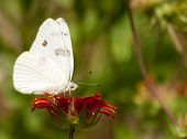Beautiful Checkered White butterfly feeding