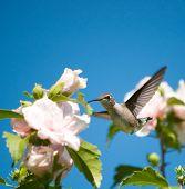 Beautiful Ruby-throated Hummingbird feeding on a Hibiscus flower