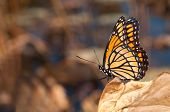 Brilliantly colored Viceroy butterfly resting on a dry leaf against muted fall color background with