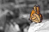 Colorful Viceroy butterfly resting on a leaf in a color spot on black and white image