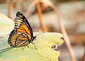 Brightly colored Viceroy butterfly resting on a waterlily leaf with muted color fall background
