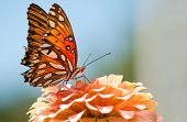 Agraulis Vanillae, Gulf Fritillary butterfly feeding on a coral colored Zinnia flower