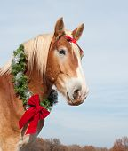 image of gentle giant  - Beautiful blond Belgian Draft horse wearing a Christmas wreath around his strong neck - JPG
